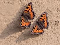 Natürliche Ordnung VII: Schmetterlinge